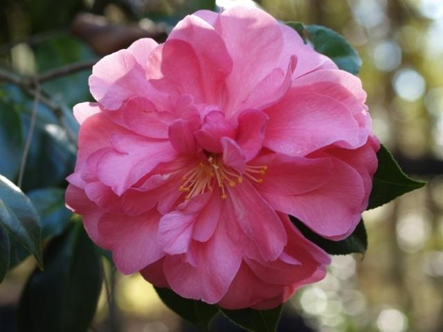 Veiled Beauty American Camellia Society