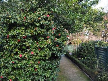 West Coast Camellia Trail Gardens American Camellia Society