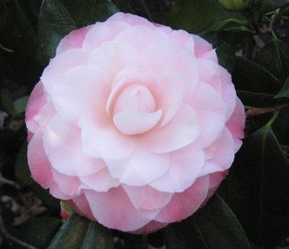 Nuccio 39 s pearl american camellia society for Camelia rossa