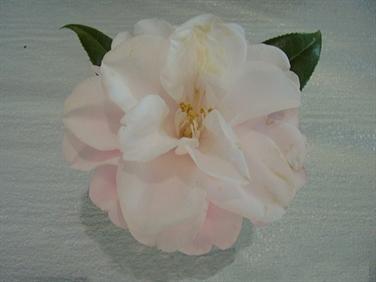 Magnoliaeflora - aka Hagoromo