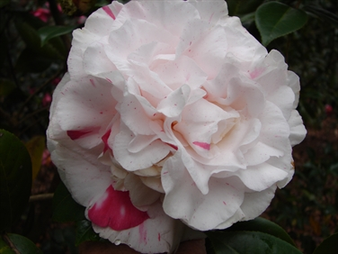 Camellia Cultivars Registered in 1981