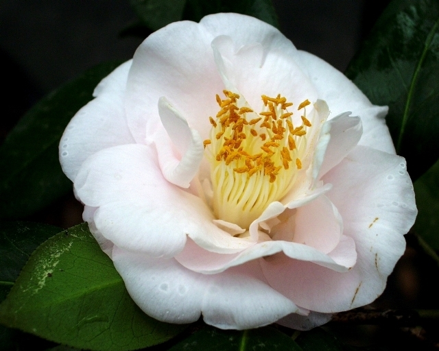 Camellia Cultivars Registered in 1955
